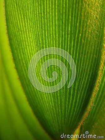 Hojas ?del árbol del sagú de Jamaica?