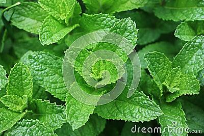 Hojas frescas de la menta verde