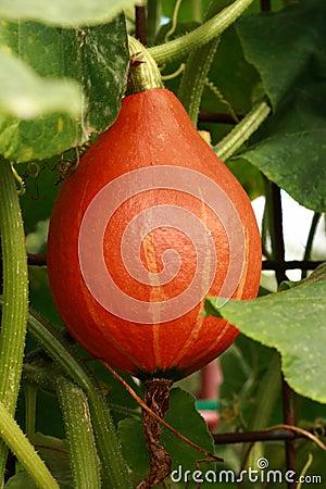Hokaido pumpkin