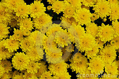 Holiday chrysanthemums