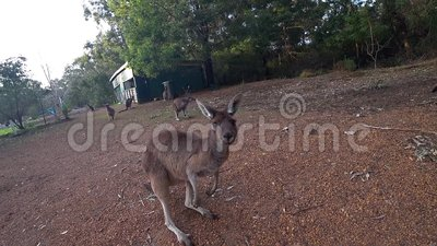 A wild kangaroo jumping away in a holiday park of Perth, Western Australia. In a holiday park of Perth, Western Australia. A wild kangaroo jumping away stock video