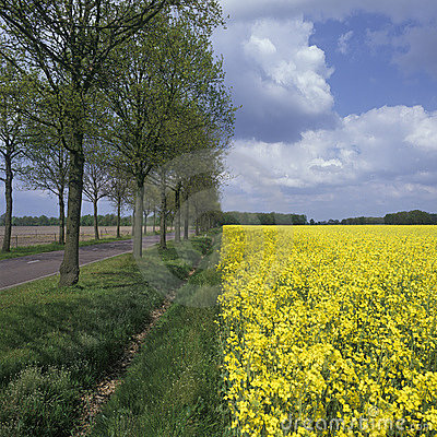 Free Holland, Landscape With Rapeseed Royalty Free Stock Images - 11977479
