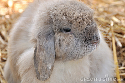 A Holland lop