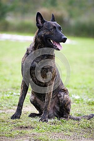 Holland-Schäferhund