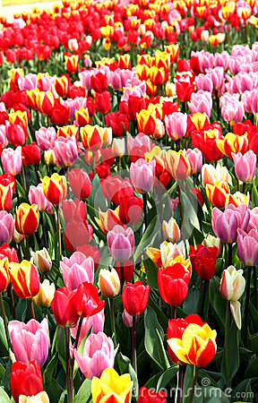 Free Holland Tulip Fields Royalty Free Stock Photos - 30938308