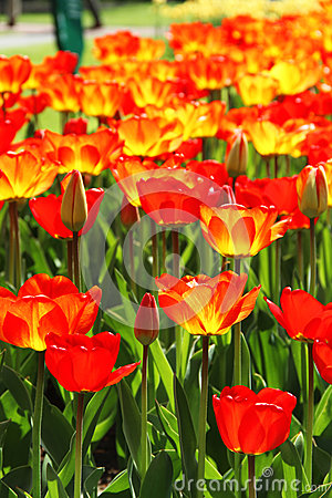 Free Holland Tulip Fields Royalty Free Stock Photography - 30938607