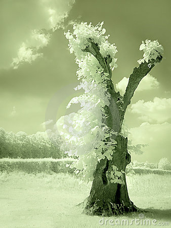Hollow tree in infrared