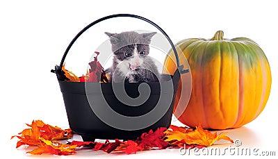 Holloween Kitten