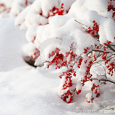 Free Holly Berries Bush Covered With Snow. Christmas. Outside. Royalty Free Stock Photography - 35957367