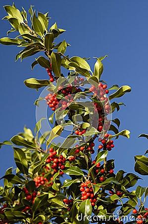 Holly Berries - Ilex aquifolium