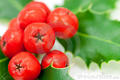 Holly berries and leaves,isolated on white