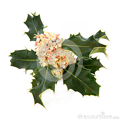 Holly Flower