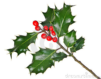 Holly (Ilex) - isolated on white