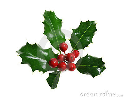 Holly Isolated on White