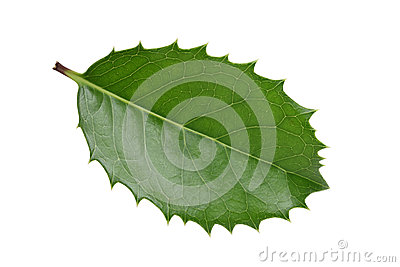 Holly leaf