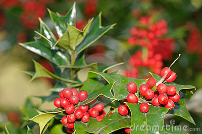 Holly tree background