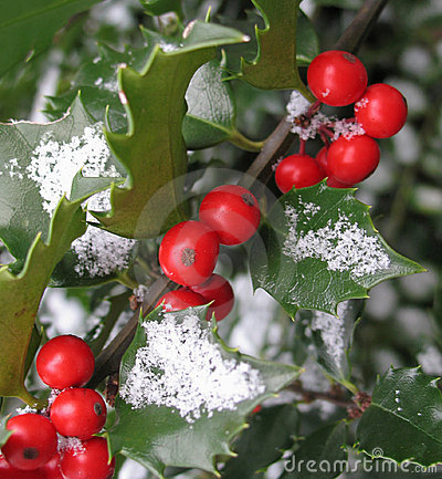 Free Holly With Dusting Of Snow Stock Photos - 3393473