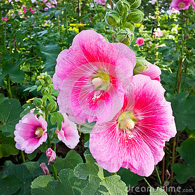 Hollyhock or alcea rosea l stock images image 36059304 for Alcea rosea