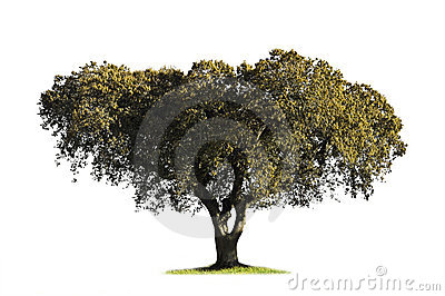 Holm oak isolated on white