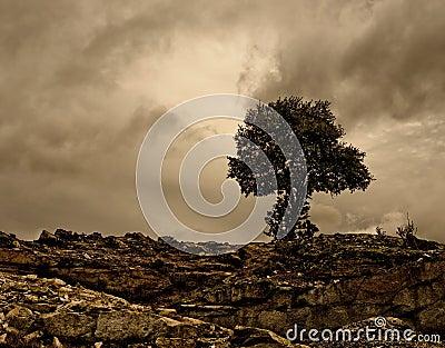Holm oak in a rocky place.