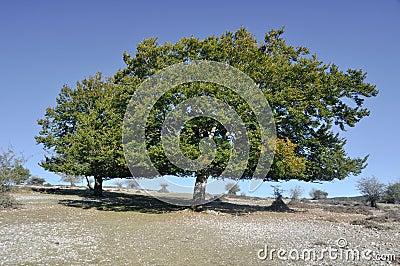 Holm oak, Urbasa range, Navarre