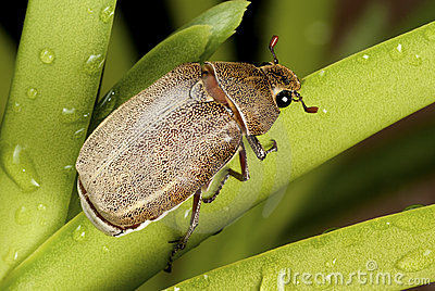 Holotrichia geilenkensri - Brown Cockchafer
