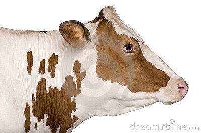 Holstein cow, 4 years old, standing