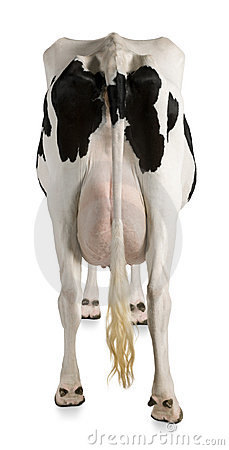 Holstein cow, 5 years old, rear view