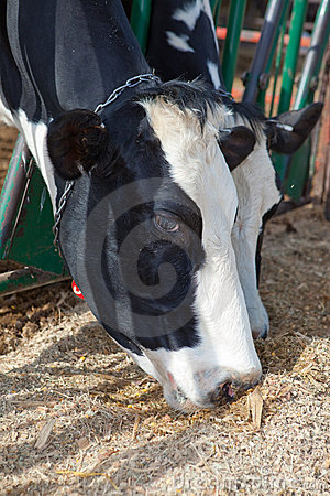 Holstein Cows Eating