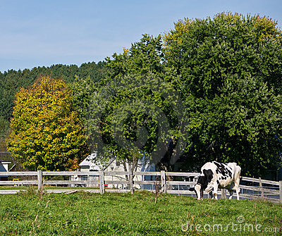 Holstein dairy cow in pasture