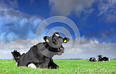 Holstein heaven
