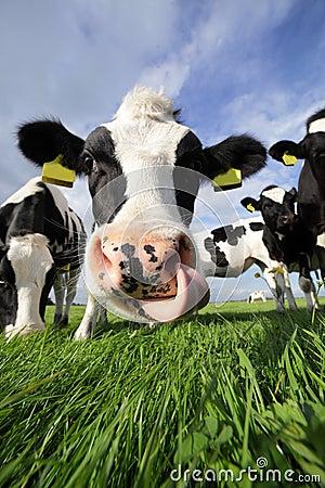 Holstein humor