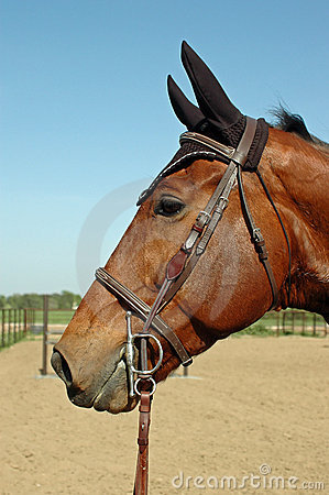 Holsteiner Gelding Profile