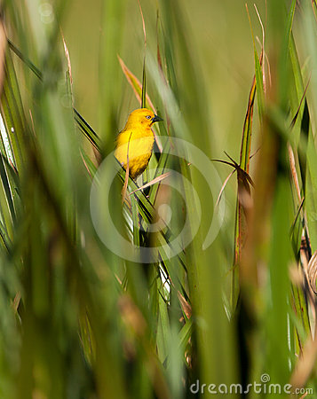 Holub s Golden Weaver in green