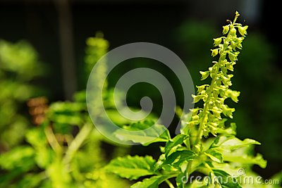 Holy basil flower
