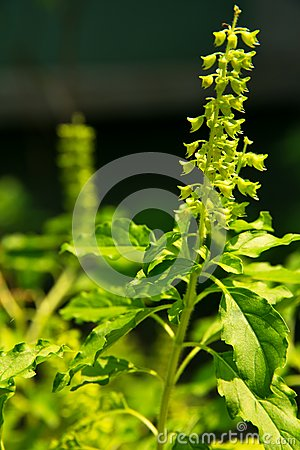 Holy basil flower in nature