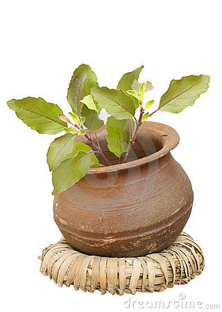Free Holy Basil Tulasi In Clay Pot Isolated Royalty Free Stock Image - 9001896