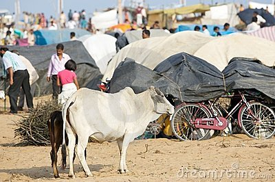 Holy cattle at the Megha Mela Editorial Stock Image