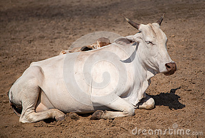 Holy Indian cow on the sand