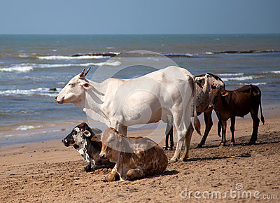 Holy Indian cows on the beach