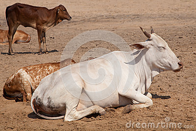 Holy Indian cows on the sand
