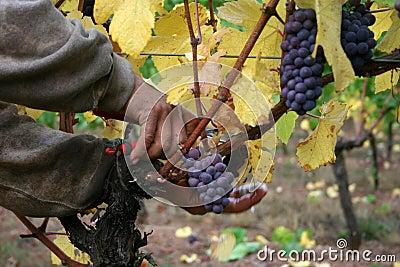 Hombre que cosecha las uvas