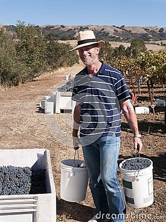 Hombre voluntario que trabaja en la cosecha de la uva