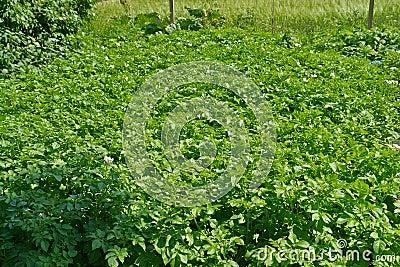 Home backyard vegetable garden