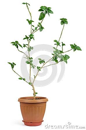 Home decorative plant in pot