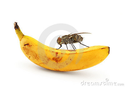 Home fly sitting on banana
