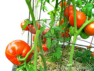 Home-grown, vine-ripened, tomatoes