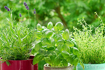 Home herb`s garden