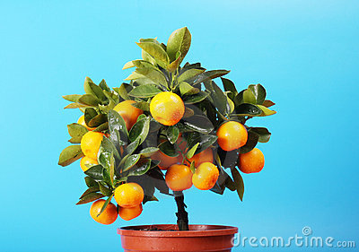 Home orange tree