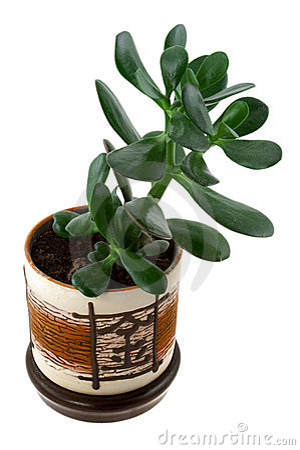 Home plant in flowerpot
